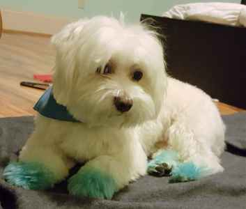 Pure Bred Maltese  Listing Image