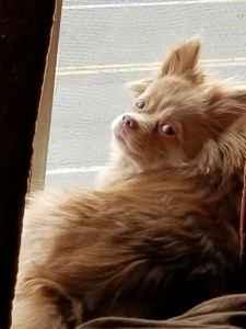 Need Stud Pomeranian Listing Image