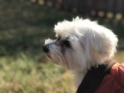 Handsome Maltese Boy looking for an Adorbale Girl  Listing Image