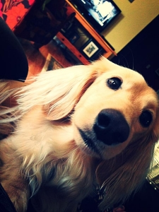 Dachshund Stud Dog in Georgia Listing Image Thumbnail