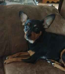 Black and Tan Min Pin Female Listing Image