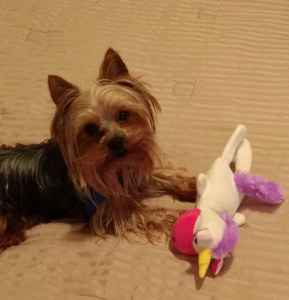 Henry the mighty 4lbs of Yorkie Spunk!  Listing Image