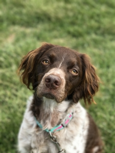 Wanting to breed my Brittany  Listing Image