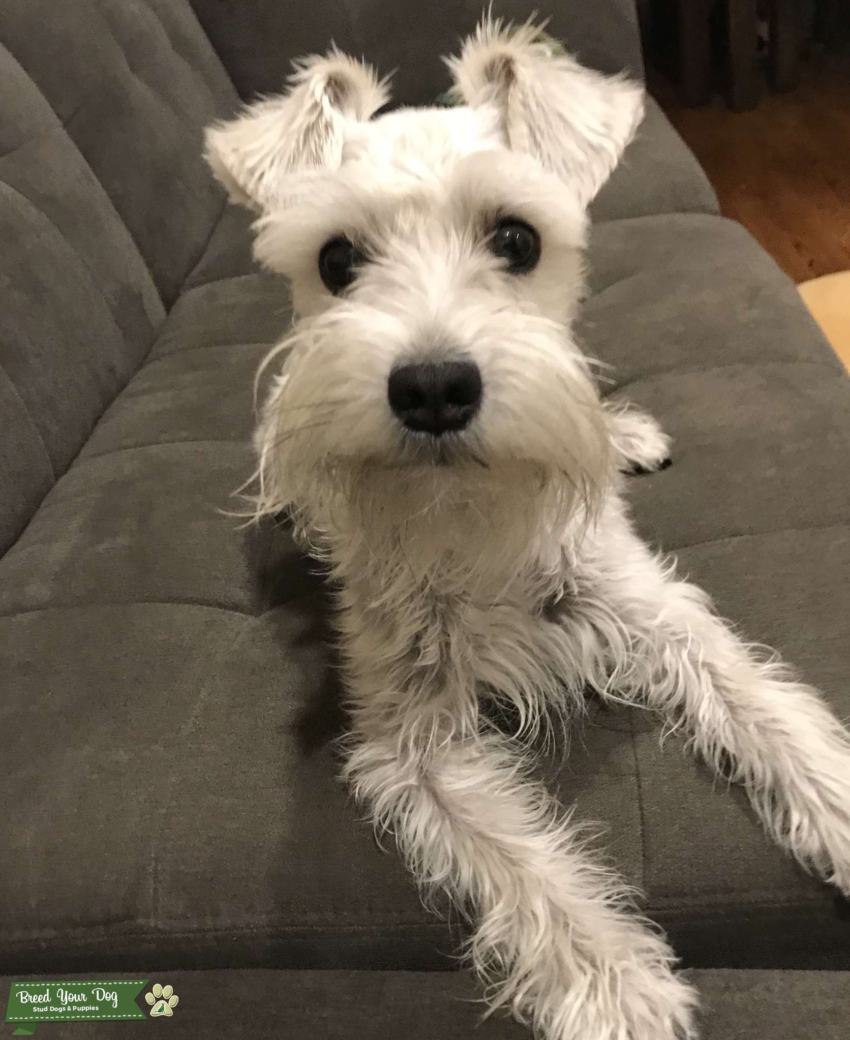 Lovely White Female Schnauzer looking for stud Listing Image Big