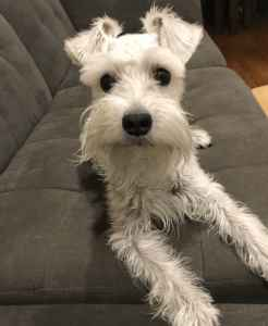 Lovely White Female Schnauzer looking for stud Listing Image