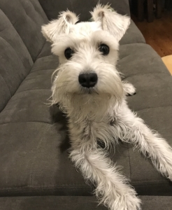 Lovely White Female Schnauzer looking for stud Listing Image Thumbnail