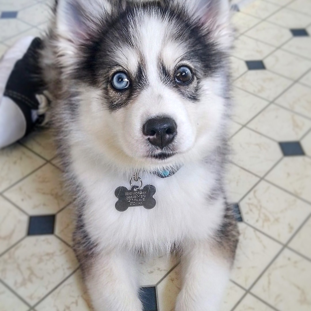Male Pomsky looking for mate Listing Image Big