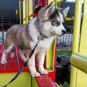 Male Pomsky looking for mate Listing Image Thumbnail
