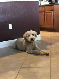 Goldendoodle male  Listing Image