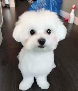 Pure Male Cutie Maltese Listing Image