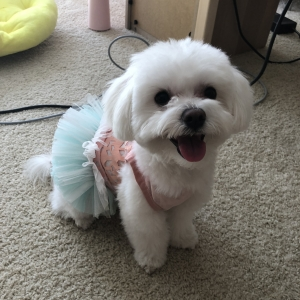 Pure Male Cutie Maltese Listing Image Thumbnail