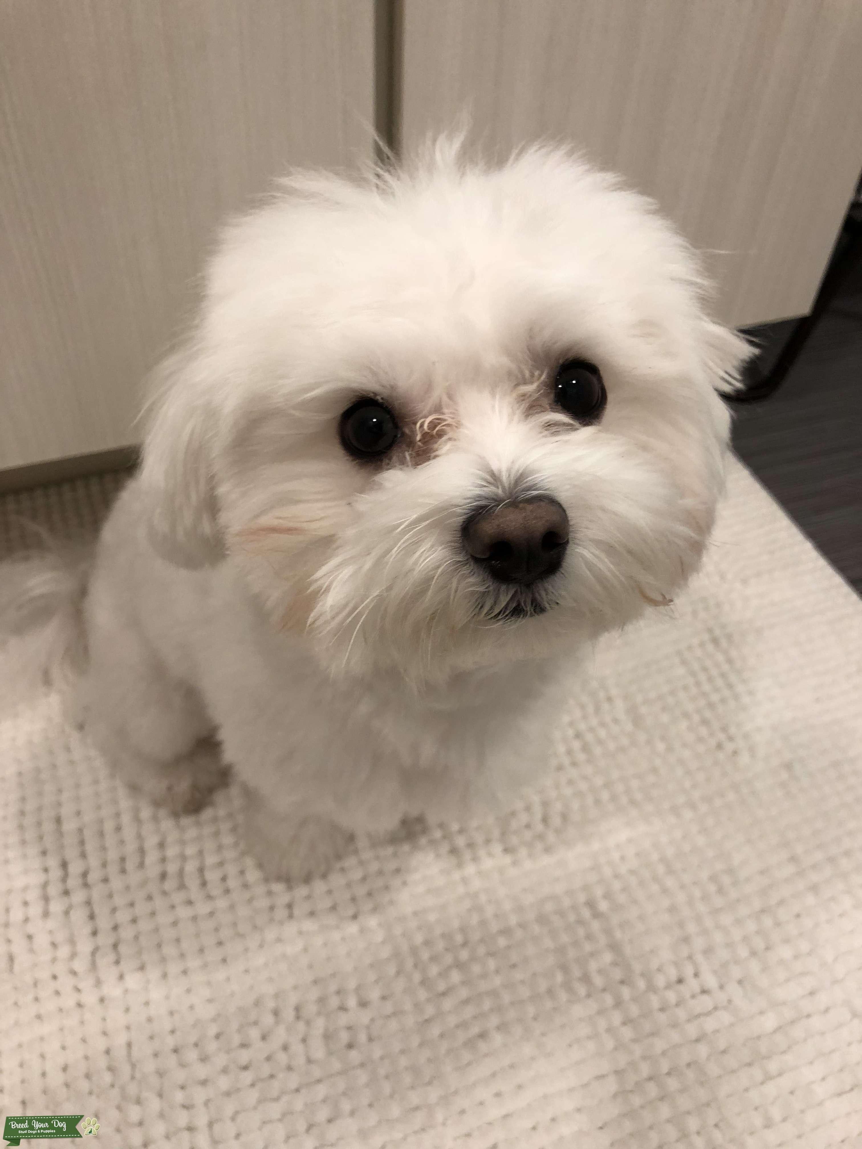 Pure Male Cutie Maltese Listing Image Big