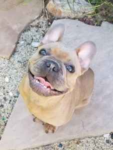 Blue Fawn French Bulldog for Stud Service Listing Image