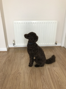 proven KC Registered PRA clear chocolate Miniature Poodle for Stud  Listing Image