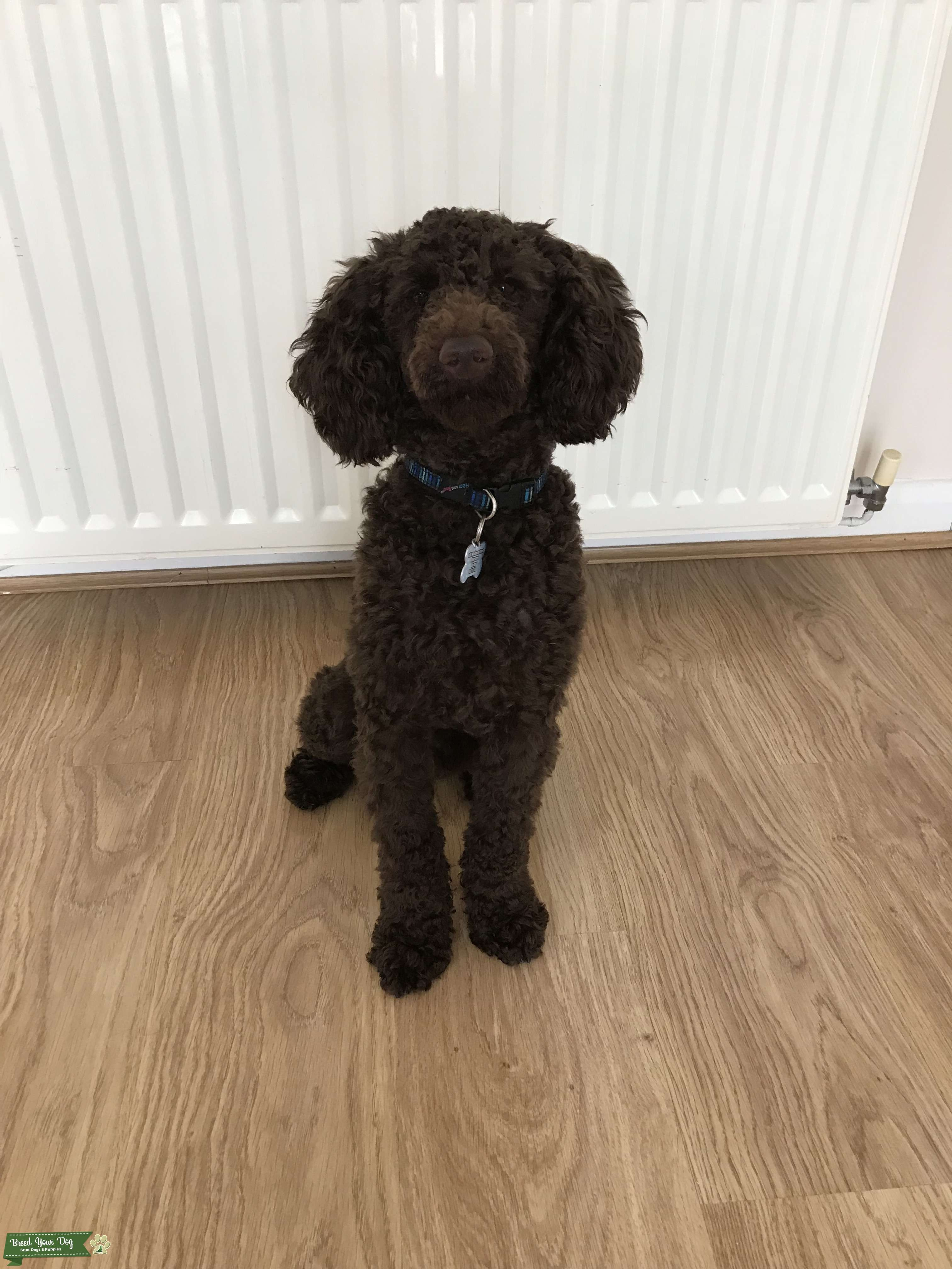 proven KC Registered PRA clear chocolate Miniature Poodle for Stud  Listing Image Big