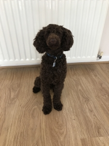 proven KC Registered PRA clear chocolate Miniature Poodle for Stud  Listing Image Thumbnail