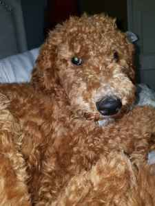 Red F1B Goldendoodle Listing Image