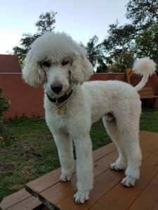 Standard Poodle for Stud Service Listing Image