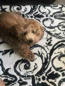 Stud Toy Poodle looking to mate  Listing Image