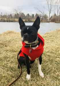 Boston Terrier Stud Dog Listing Image