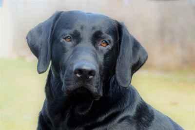 2016 akc Black Labrador  Listing Image