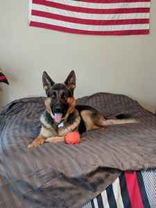 Great Family German Shepherd Listing Image