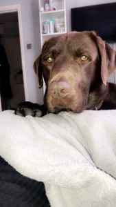 Pure breed Chocolate lab for stud Listing Image