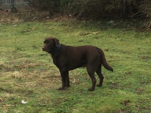Pure breed Chocolate lab for stud Listing Image Thumbnail