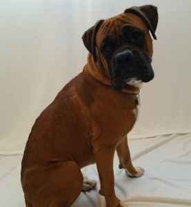 Fawn male Boxer Listing Image