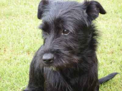 Schnauzer Mixes Needing Mate Listing Image