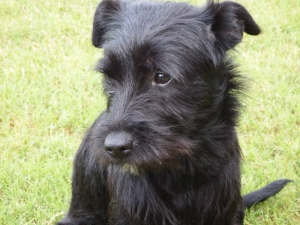 Schnauzer Mixes Needing Mate Listing Image Thumbnail