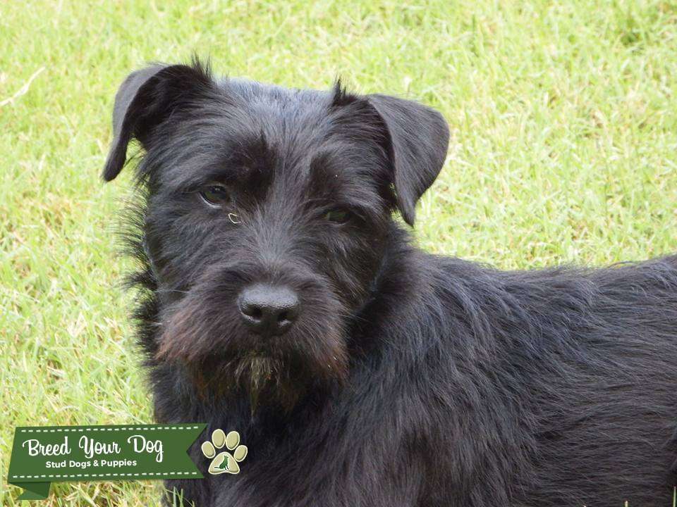 Schnauzer Mixes Needing Mate Listing Image Big