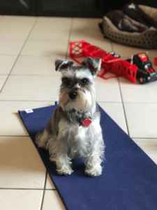 Miniature Schnauzer Looking for Male Partner! Listing Image