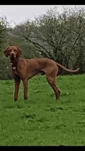 Hungarian Vizsla dog KC registered Stud Listing Image