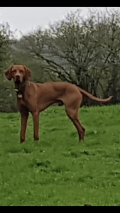 Hungarian Vizsla dog KC registered Stud Listing Image