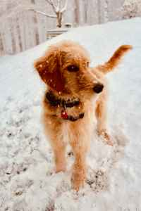 Red Goldendoodle Listing Image