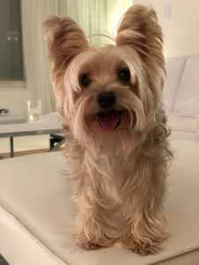 Silver yorkie looking for his princess Listing Image