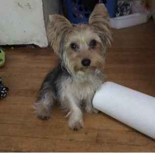 Looking to breed 11 month old yorkie  Listing Image