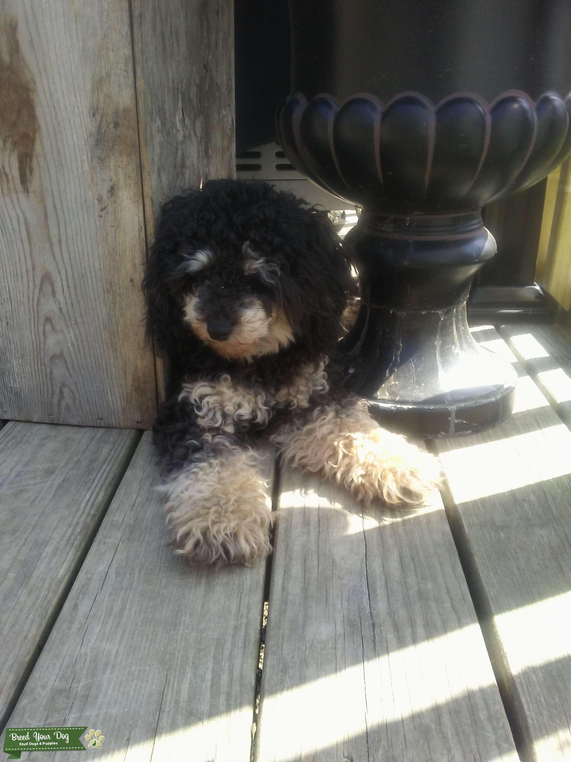 Stud Dog Toy Poodle Stud Phantom Breed Your Dog