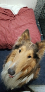 Pure bread rough collie Listing Image