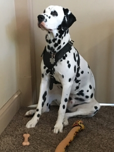 Stud Dog Dalmation Listing Image