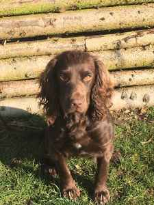Liver Working Cocker Spaniel  Listing Image