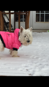 Bella is looking for a handsome male westie  Listing Image
