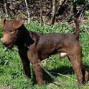 Outstanding Chocolate Patterdale Terrier Listing Image