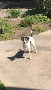 Stud Jack Russell Terrier Listing Image