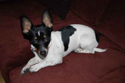 Chihuahua needs stud Listing Image