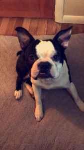 AKC Boston Terrier  Listing Image