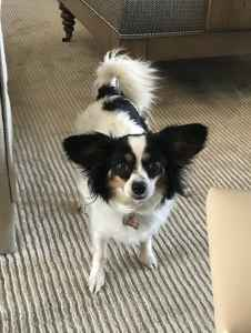 Bitch (Female) Looking for Papillon Stud for breeding Listing Image