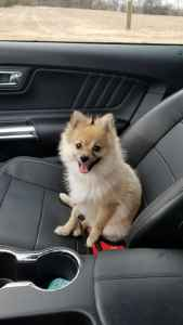 Pomeranian male for stud Listing Image