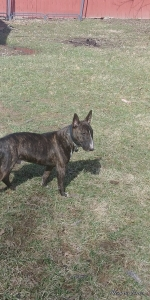 Strong, beautiful brindle Bull terrier  Listing Image